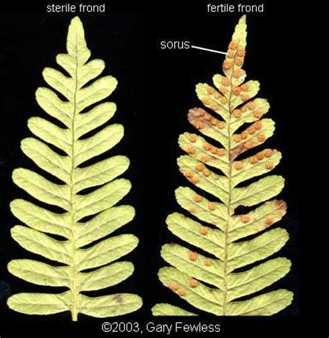 Pteridophytes of Wisconsin: basic terms