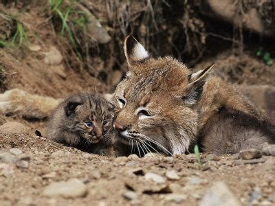 Bobcat (Lynx Nufus) Mother with 21 Day Old Kittens, in