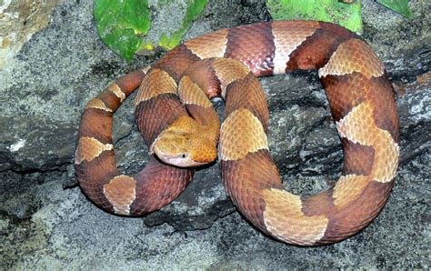 copperhead - Wiktionary