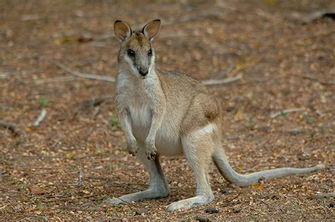 Wallaby Facts, History, Useful Information and Amazing