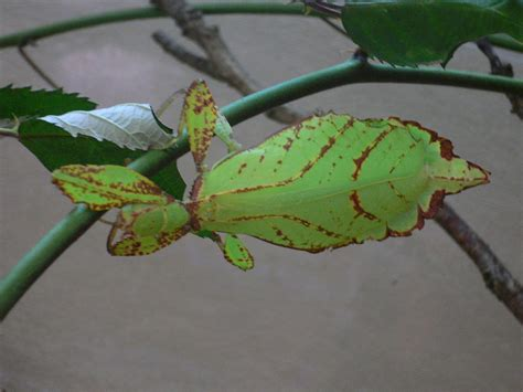 leaf insect - Wiktionary